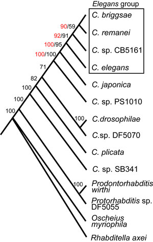 Diagram The Phylogenetic Relationships Of Caenorhabditis And Other Rhabditids