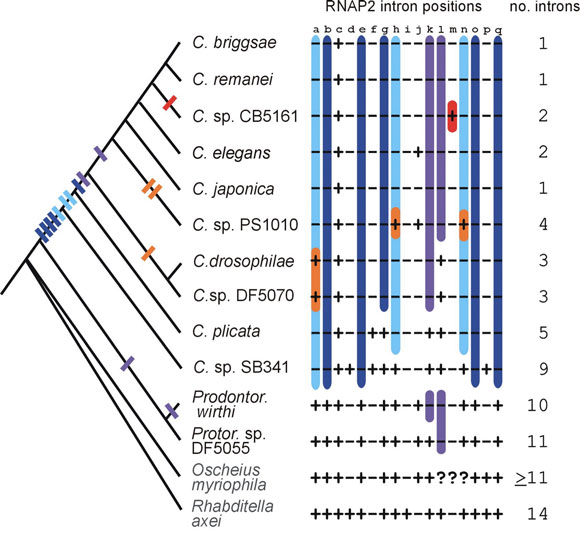 The Phylogenetic Relationships Of Caenorhabditis And Other