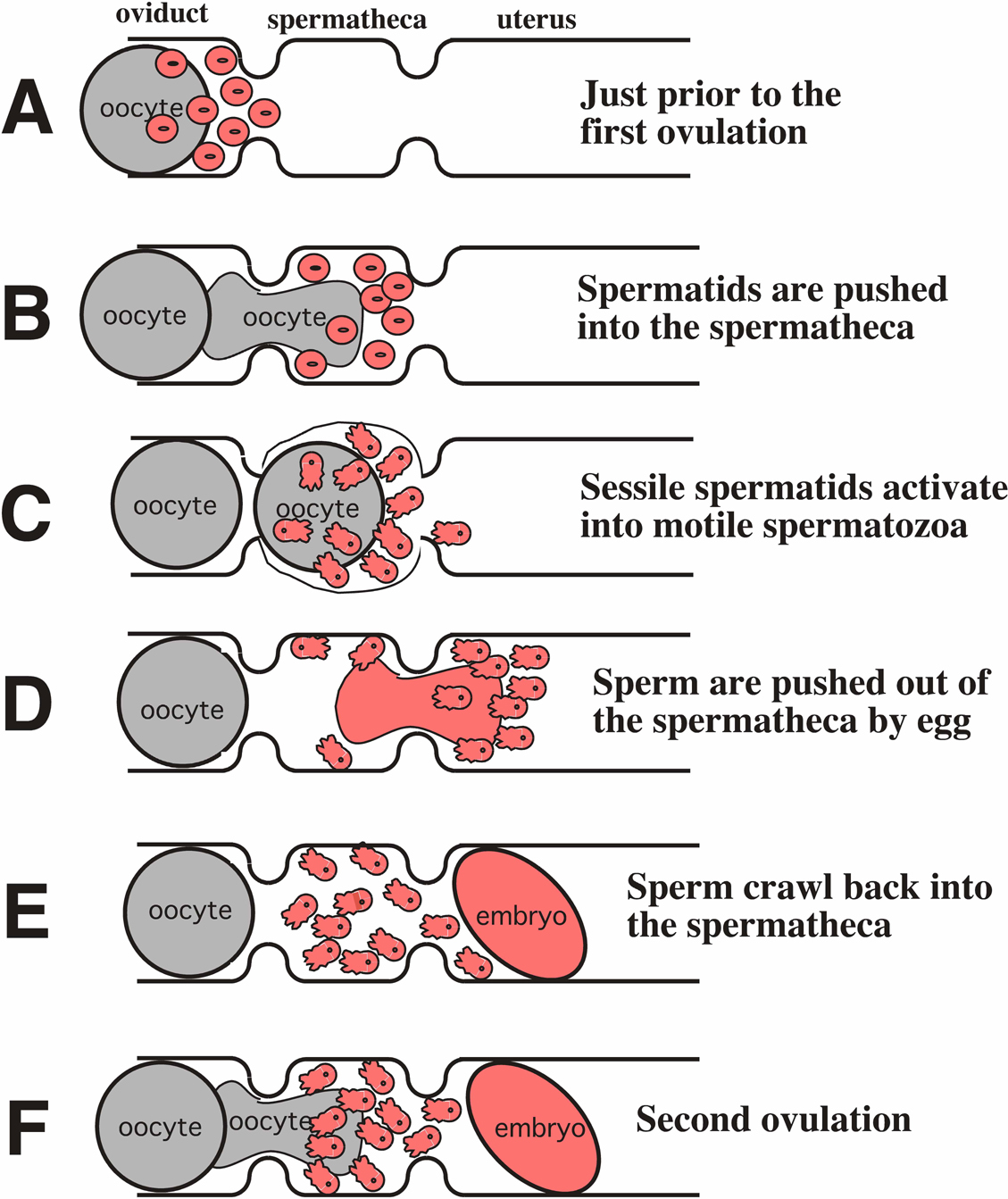 Oogenesis vs Spermatogenesis http://junk.home.pl/spermatogenesis-and-oogenesis-similarities&page=3